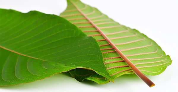 Golden Road Botanicals - Red Thai Kratom Leaves