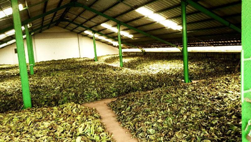 Warehouse of drying kratom leaves