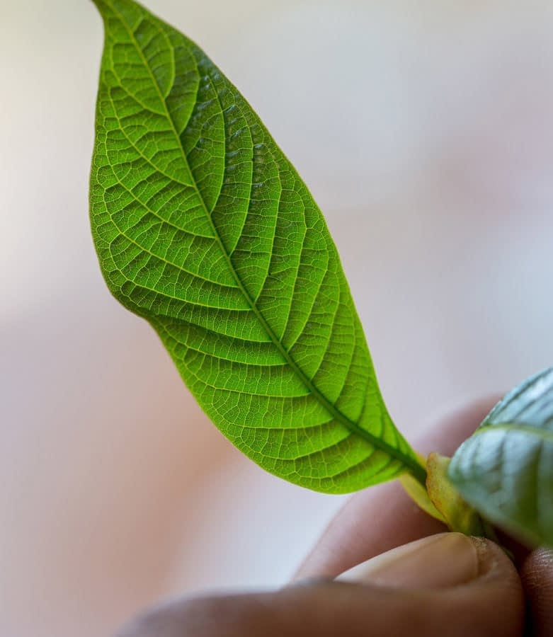 Kratom Leaf being held against a blurred background